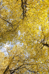 Image of golden leaves at autumn. Beautiful yellow branch