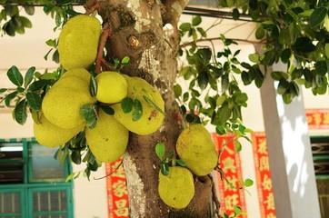 Ripening fruits jackfruit