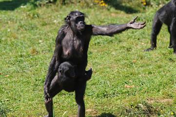 Bonobo femelle demandant à manger
