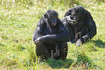 Bonobo mâle