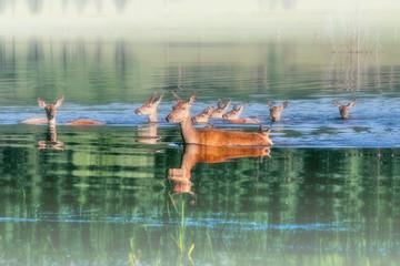 Group of deer in the water