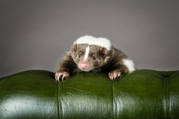 Skunk on a chair.