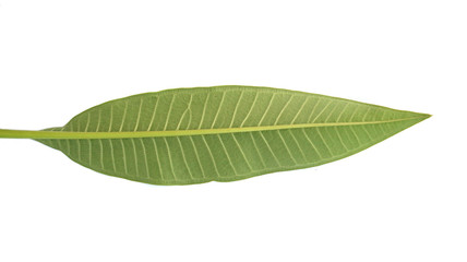 Frangipani leaf isolated on white background