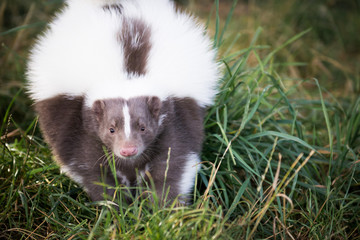 Picture of a Skunk in the Grass