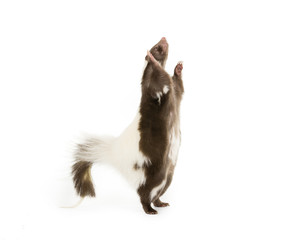 Picture of a Skunk Standing on its hind legs