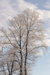 winter trees in cold day
