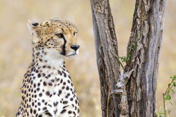 Cheetah rests under tree in Serengeti