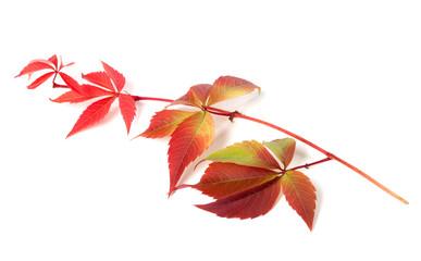Branch of autumn grapes leaves (Parthenocissus quinquefolia foli