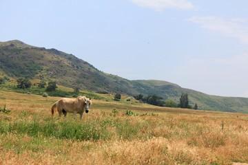 Horse eating grass in an arid field