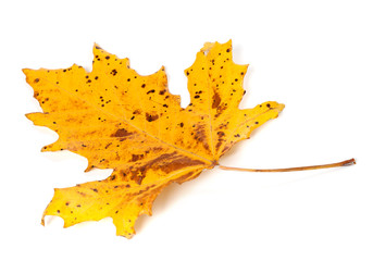 Speckled autumn leaf on white background