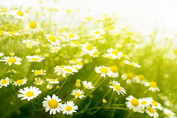 Chamomile flowers on meadow with sunlight