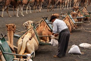 pastor junto a camellos en el desierto