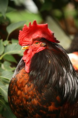 Black and red rooster portrait