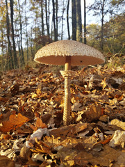 Parasol mushroom in autumn forest