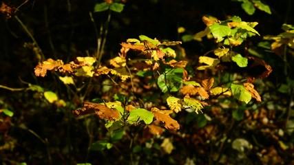 Herbst, verfärbte Blätter im Wind