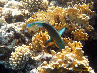 Tropical exotic fish underwater. The pseododax moluccanus