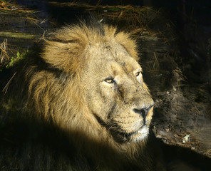 Indian Lion - Panthera leo Persica, the latest Asian Lion