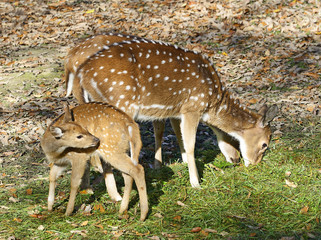 Chital - Axis Axis, spotted deer