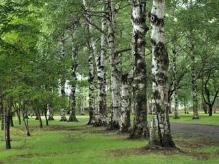 大木の並木