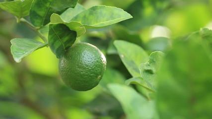 Green lemon on tree branch in wind.