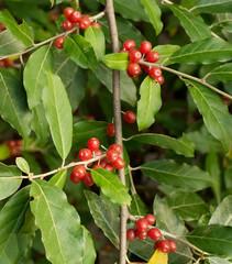 Ripe Autumn Olive Berries (Elaeagnus Umbellata)