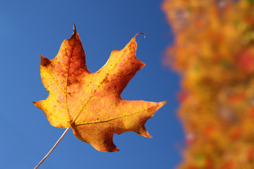 Orange maple leaf in Autumn