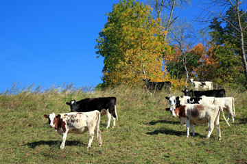 Cows Grazing on Hillside