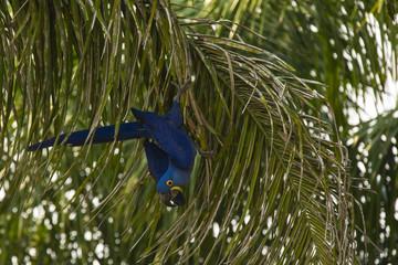 Wild Hyacinth Macaw Climbing Down Palm Branch
