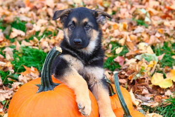 German Shepherd puppy sitting on pumpkins