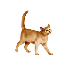 Red British kitten walks against white background