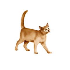 Red British kitten walks against white background