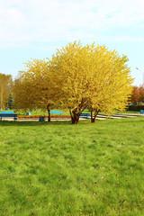 Жёлтая липа на набережной