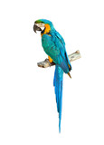 Fototapety Colorful blue parrot macaw
