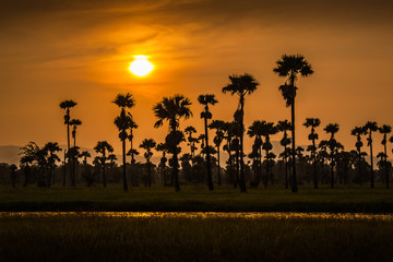 Sugar palm with sunset