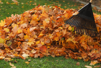 Raking leaf pile