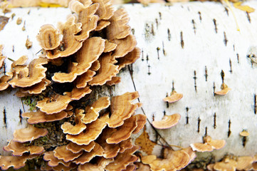 Mushrooms on birch tree in autumn forest