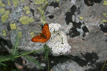Ninfalide, Vallone di Monte Colomb, Entracque (25 luglio 2014).