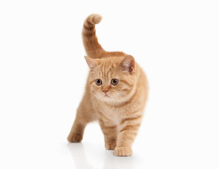 Cat. Small red british kitten on white background