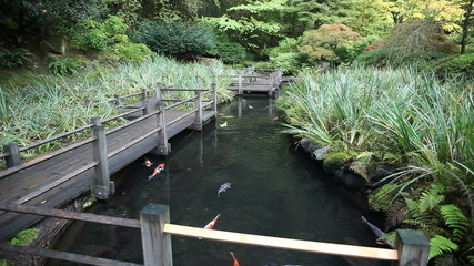 Koi Fish Swimming in Garden Pond with Walking Wood Bridge