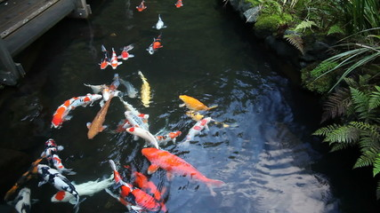 Colorful Koi Fish Swimming in Garden Pond 1920x1080