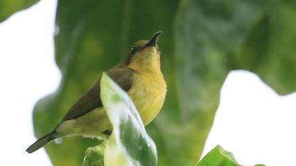 Bird (Olive-backed Sunbird) Thailand