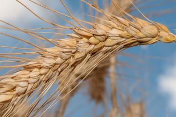 Grain ear closeup