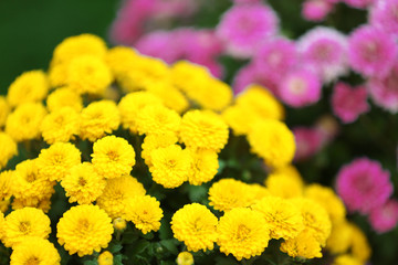 Lilac and yellow flowers as background