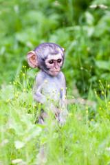 A wild baby Vervet Monky standing in long green graa