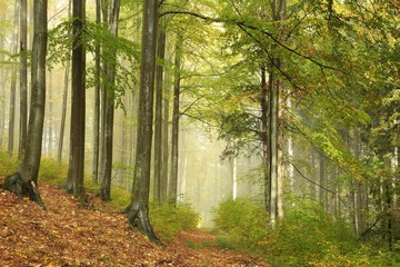Trail through the misty autumn beech forest