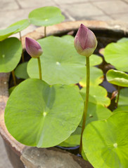 Lotus flowers in water surface garden decoration