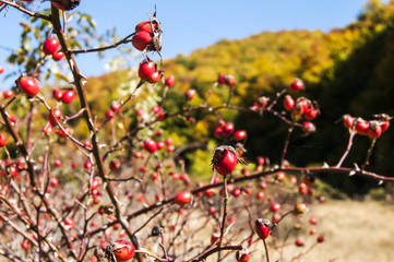 Rose hips closeup on autumn mountain background