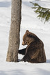 Brown bear grizzly in the snow background