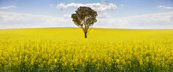 Australian gum tree in field of canola