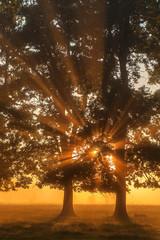 oaks in a clearing